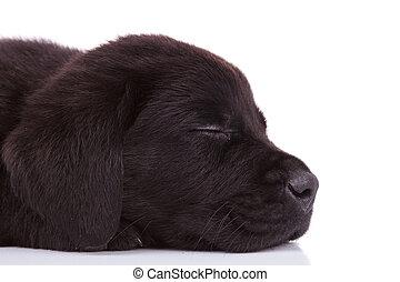 cabeza, labrador, sueño, perro, perrito, perro cobrador