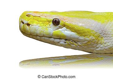 cabeza, pitón, aislado, serpiente albino, blanco