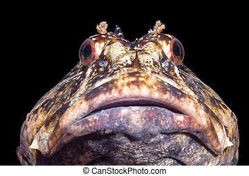 Cabezon in California ocean - A curious cabezon fish in cool...