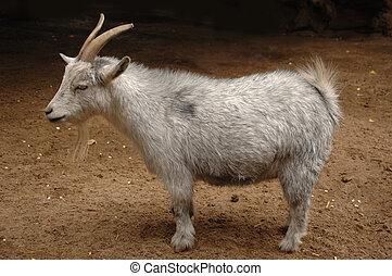 cabra del billy