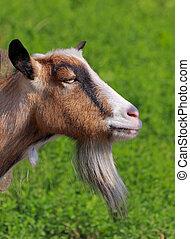 cabra del billy, retrato