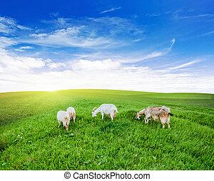 cabras, pasto, hierba verde, pradera