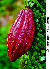 cacao, árbol, árbol., vainas, fruta