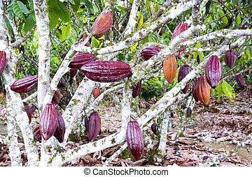 cacao, árbol