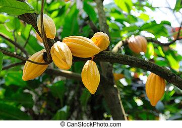 cacao, árbol, vainas