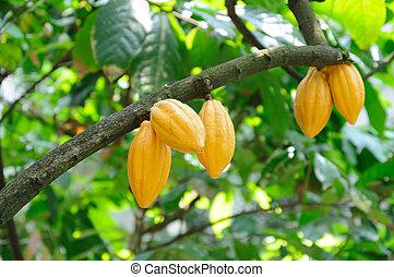 cacao, boîtiers