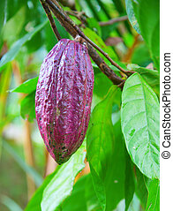 cacao, boon