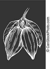 cacao, dessin, illustration