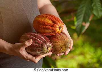 Cacao harvesting concept
