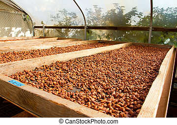 Cacao Nibs Roasting on Flats - Cacao nibs have been stripped...