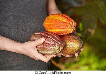 Cacao plant fruits