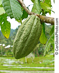Cacao pod against rice fields