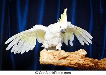 cacatoès blanc, perroquet