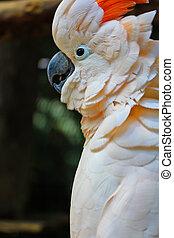 cacatoès, perroquets, Oiseaux