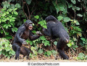 cacerola, distancia, (, cierre, cortocircuito, paniscus)., bonobos, lucha, arriba.