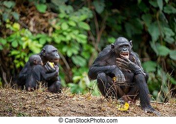 cacerola, pigmeo, chimpancé, (, formerly, llamado, paniscus...