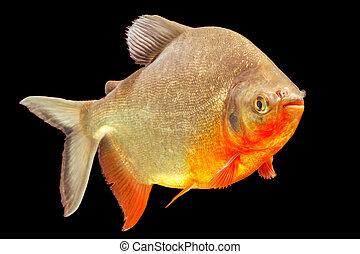 Cachama Fish Studio Aquarium Shot - Cachama Or Tambaqui Fish...