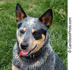 cachorro australiano gado
