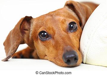cachorro bassê, casa, ligado, sofá