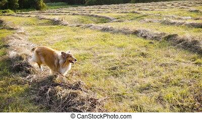 cachorro collie, executando, ligado, campo verde, em, luz...