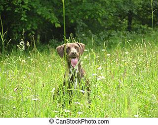 cachorro marrom, quase, escondido, em, a, abertos, campo