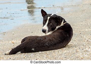 cachorro preto, praia
