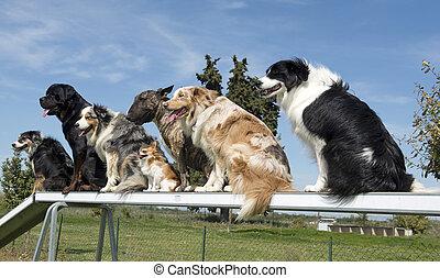 cachorros, em, agilidade