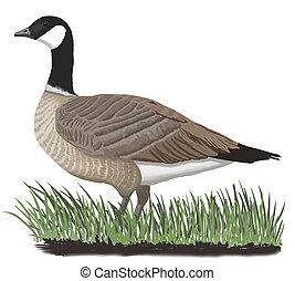 Cackling Goose - Branta hutchinsii - Aleutian (leucopareia)