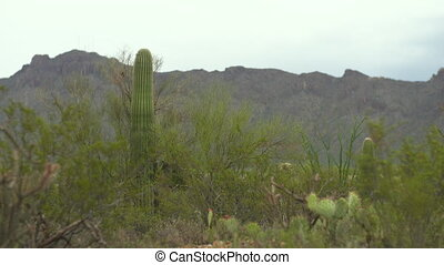 Steady, medium wide shot of various cacti in desert and mountainous terrain.