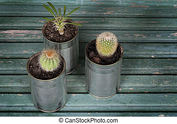 cacti in pots of cans