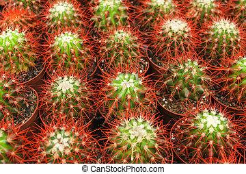 Cacti in pots