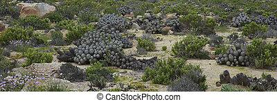Cacti in the Atacama