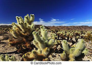 cacto cholla, jardim, em, árvore joshua parque nacional, califórnia, eua