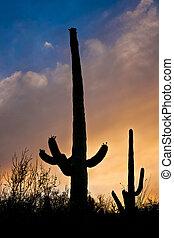 cacto saguaro, de, tucson, arizona, área