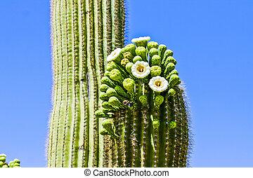 cacto saguaro