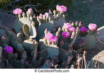 cactos, beavertail, florecer, salvaje, desierto, rojo