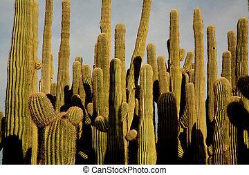 cactos, saguaro