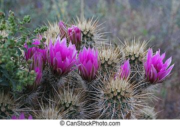 Cactus 1 - Hedgehog cactus withpurple flowers