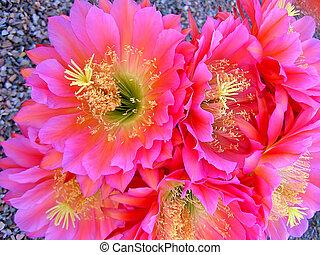cactus, almas, fleur