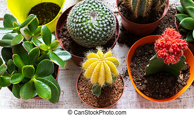 Cactus and succulents house plants background. Collection of various house plants on white wooden background. Potting house plants background.