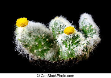 Cactus Austrocylindropuntia in front of black background