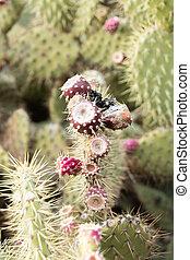 cactus, barbary, variété, donner, méditerranéen, figues, fruits, cultures, rouges