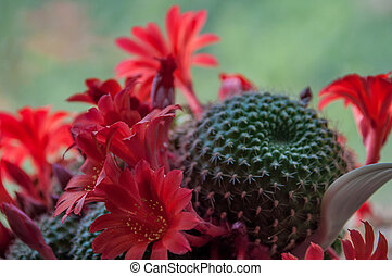 Cactus blooming red flowers with shallow depth of field