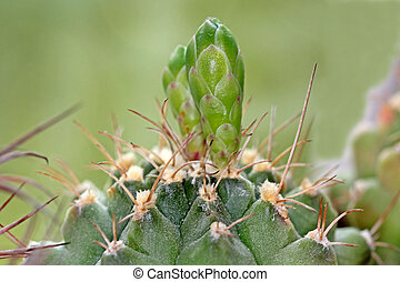 Cactus buds of flowers