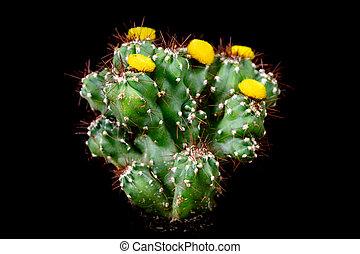 Cactus Cereus Peruvianus Monstrosus in front of black background