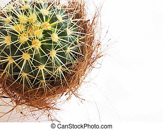 cactus - closeup of a spiny plant in a pot