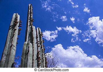 Cactus en el desierto, con cielo azul y nubes blancas