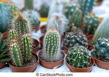 cactus Echinocactus grusonii in the garden, close-up. selective focus