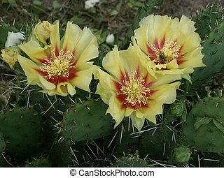 Cactus Flower - Yellow and red cactus flower