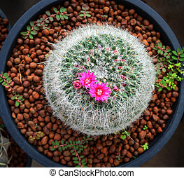 Cactus flower pink tiny in pot in the garden nursery cactus farm agriculture greenhouse